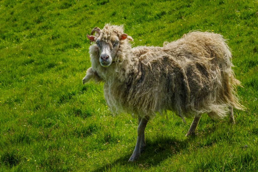 A cute sheep, resident of Mykines