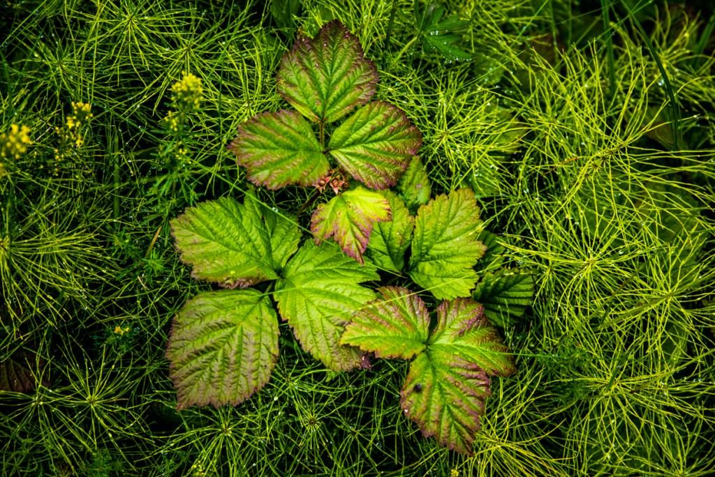 Plants of Gjáin Valley