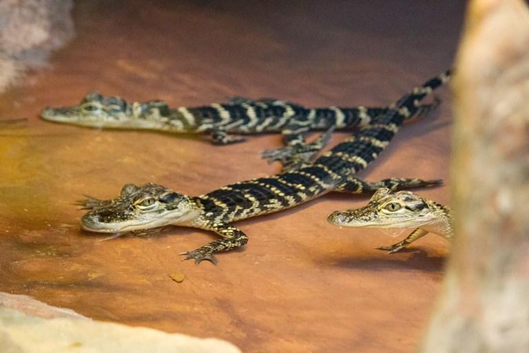 Three juvenile American alligators