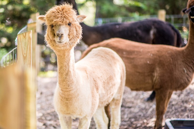 A buff colored alpaca stands in a pen with two others.