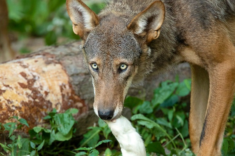 Close up of a red wolf holding a white rat in its mouth.