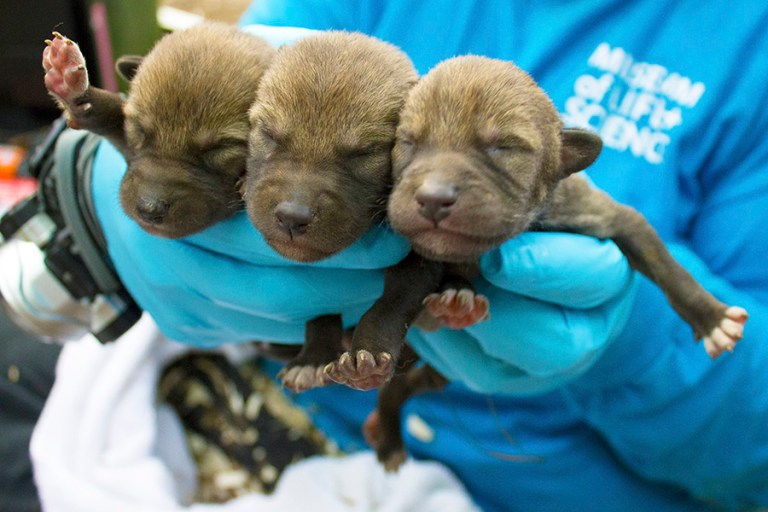 Closeup of three red wolf pups being held by a member of the Museum's animal care team