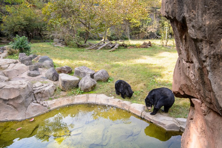 Two black bears in their exhibit enclosure near a pool of water.