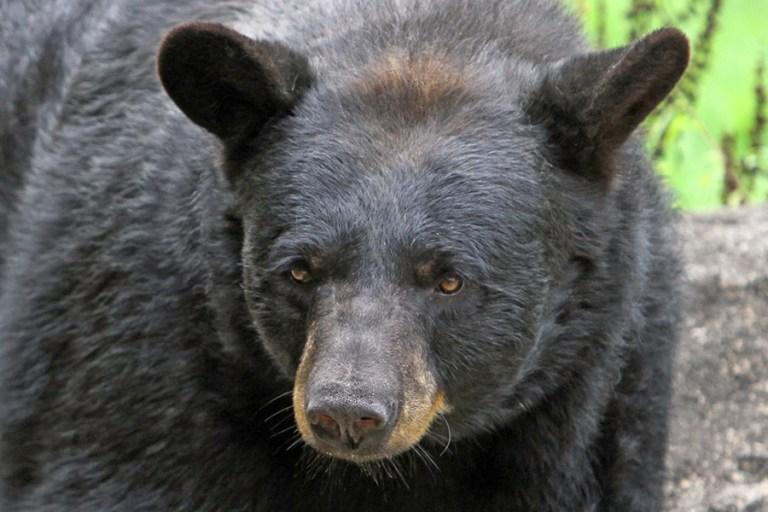 Closeup of Yona, an American black bear.
