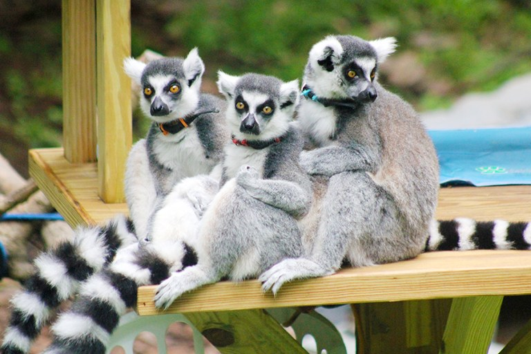 Three ring-tailed lemurs perch on a wooden platform.