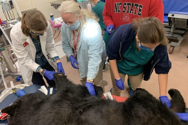 Three vets look at bear