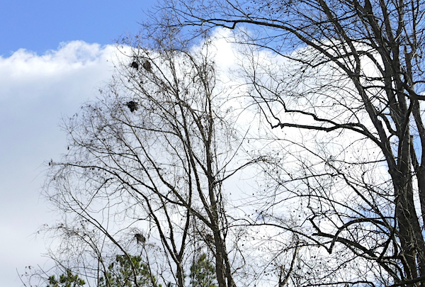 Treetop with multiple nests