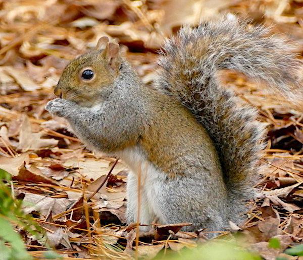 Gray squirrel eats pine nut.