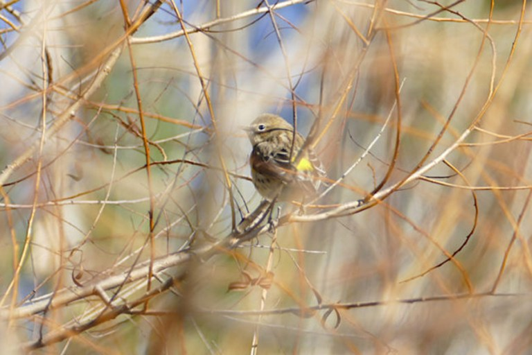 Yellow rumped warbler sits in black willow.