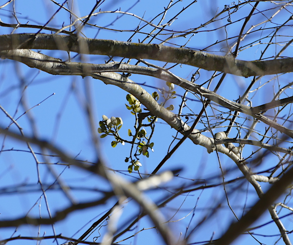 Mistletoe in river birch along wetlands shore.