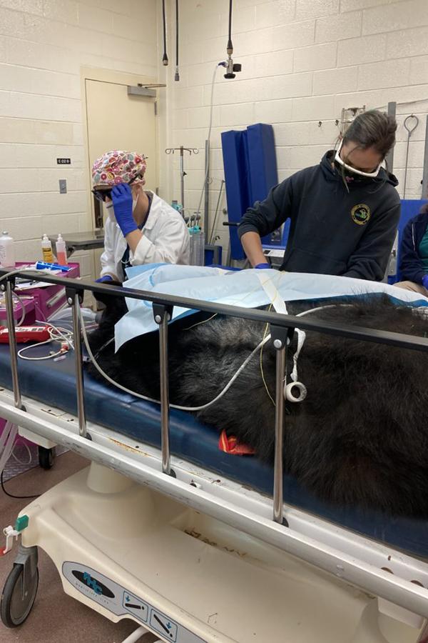 Vets work on sedated bear