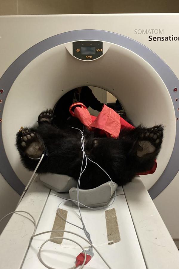 Bear inside CT machine