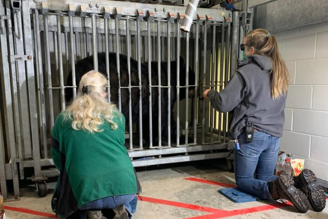 Vet and staff member kneel near caged bear to offer laser treatment.