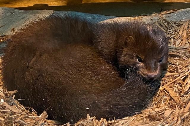 Mink sleeps