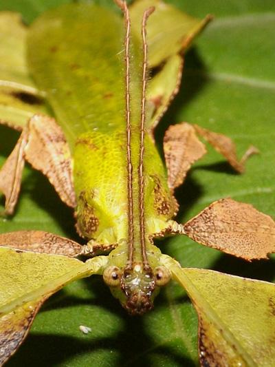 Male leaf bug up close