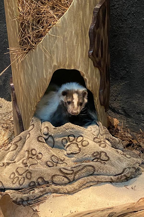 Skunk looks at camera from inside log