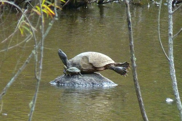 Chip the turtle on a rock
