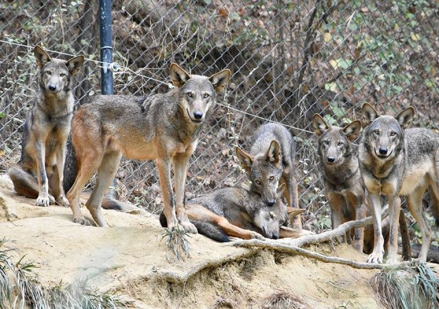 Red wolves at the Museum