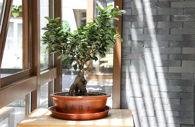 Drzewko ficus bonsai