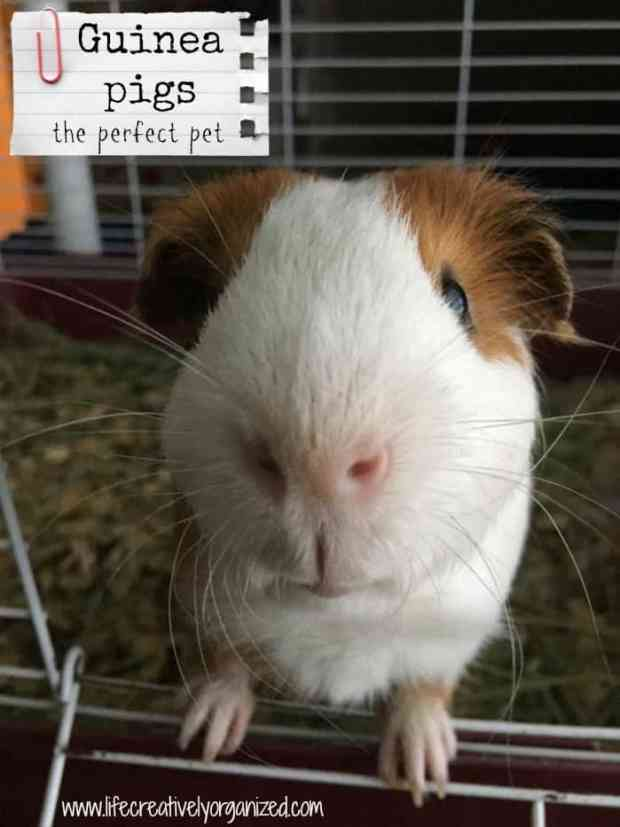 Guinea pigs the perfect pet life creatively organized guinea pigs are gentle and easy to take of they have big personalities and make sciox Image collections