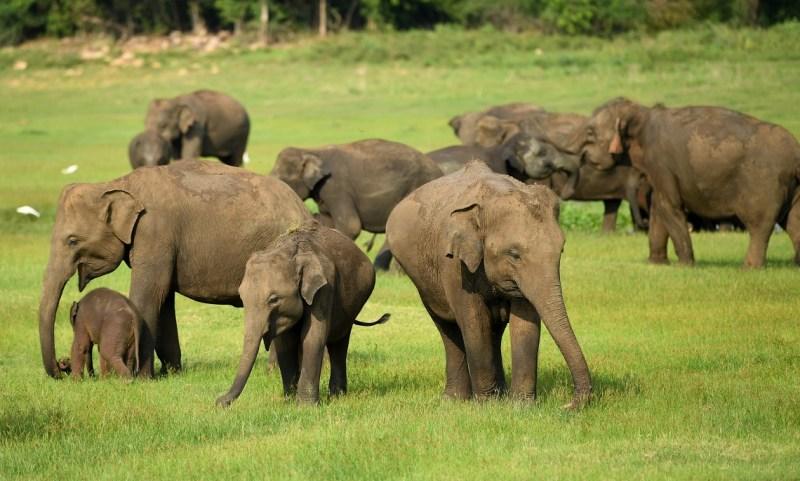 Branco di elefanti asiatici che pascola