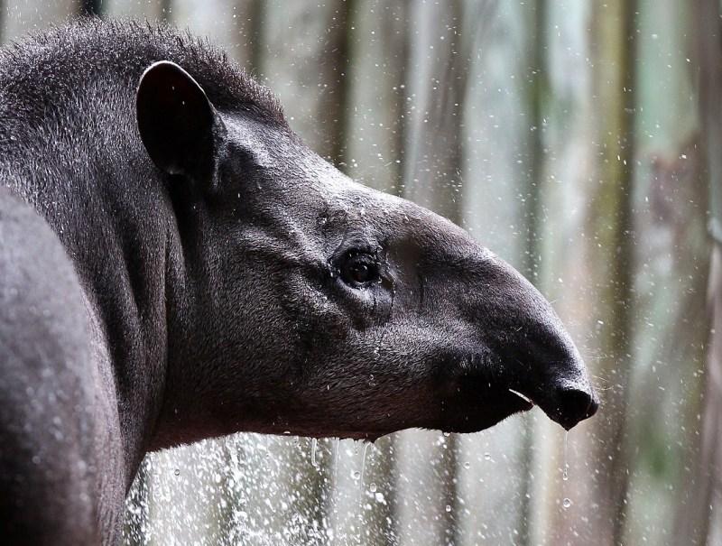 Tapiro brasiliano