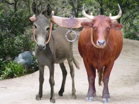 unequally-yoked-donkey-and-ox
