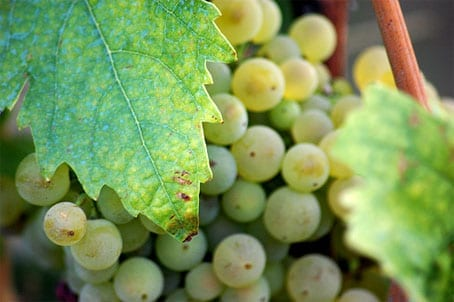 Abruzzo Grapes Toasting in the Sun