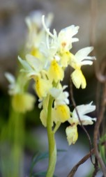 yellow-orchid-1