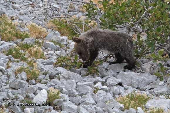 Abruzzo Marsican Bear