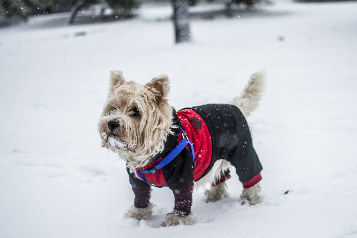 Get them a Coat - Keeping Your Dog In Good Health This Winter