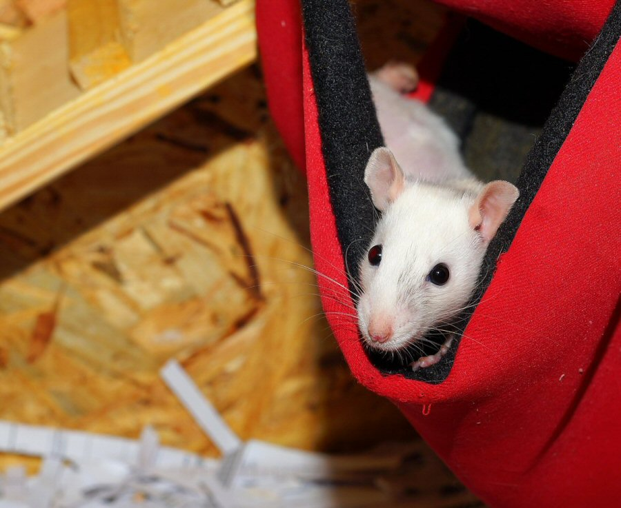 Is Your Home Infested? - Rats and Mice