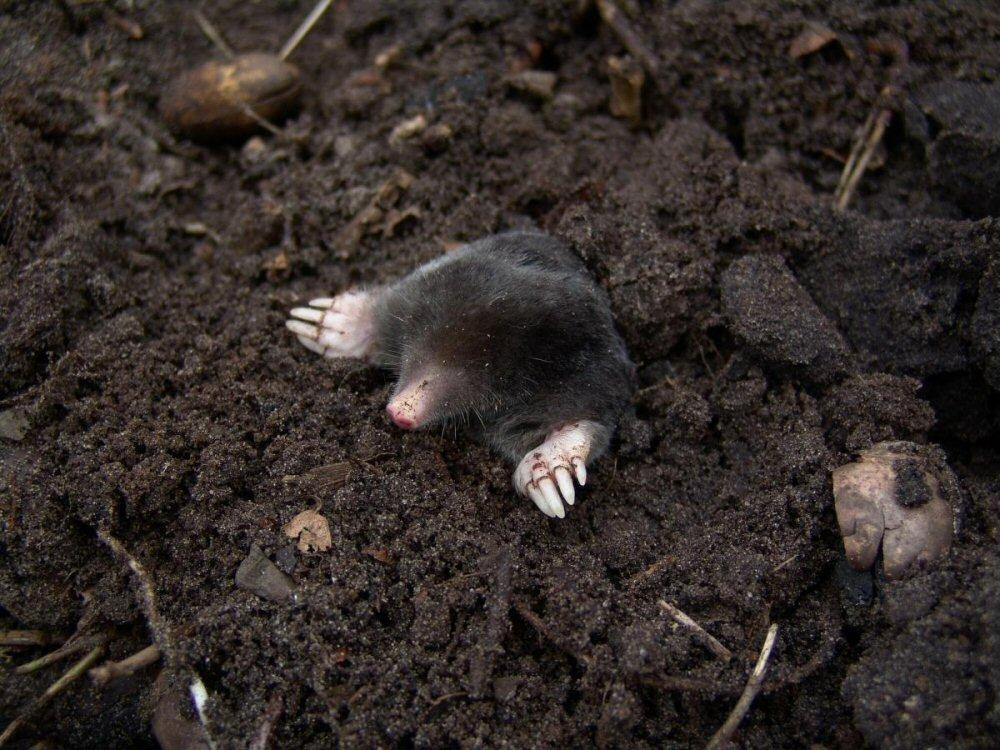 moles in the mulch