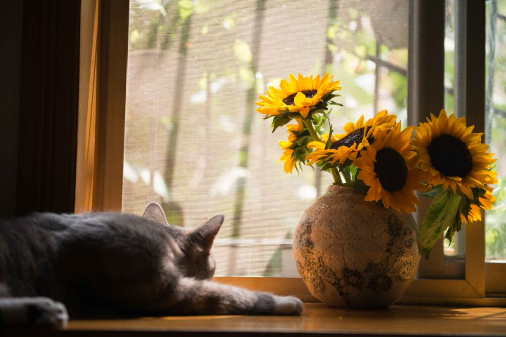 cat laying in sunshine looking out window