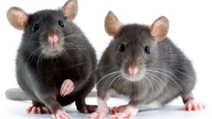 two rats posing