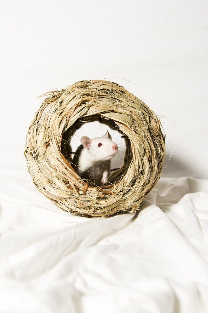 Wet Whiskers and Long Tails: Understanding Rat Health and Illnesses
