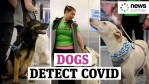 Sniffer dogs for Covid, the Italian research
