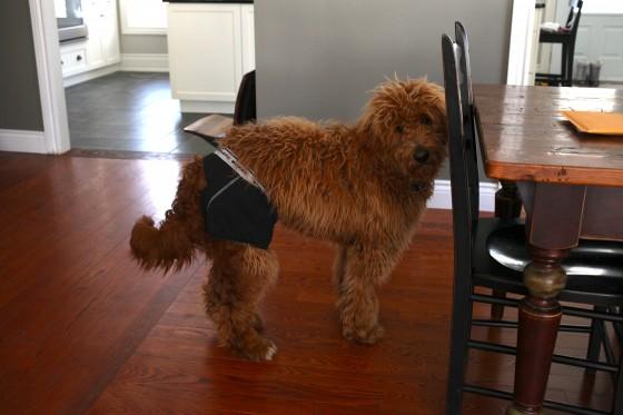 dog wearing underwear