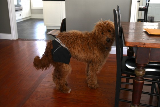 dog wearing underwear