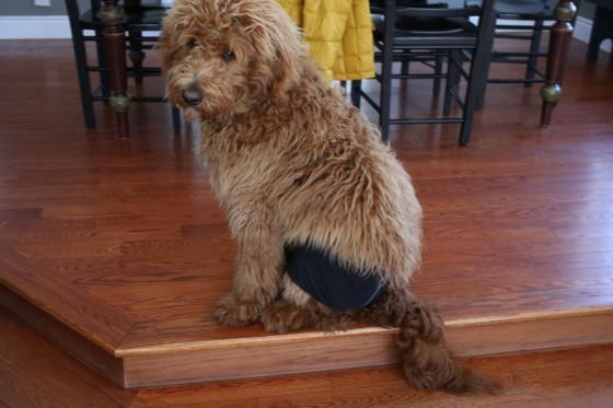 dog wearing underwear wookie