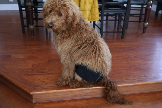 dog wearing underwear wookie