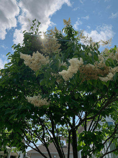 lilac tree in bloom