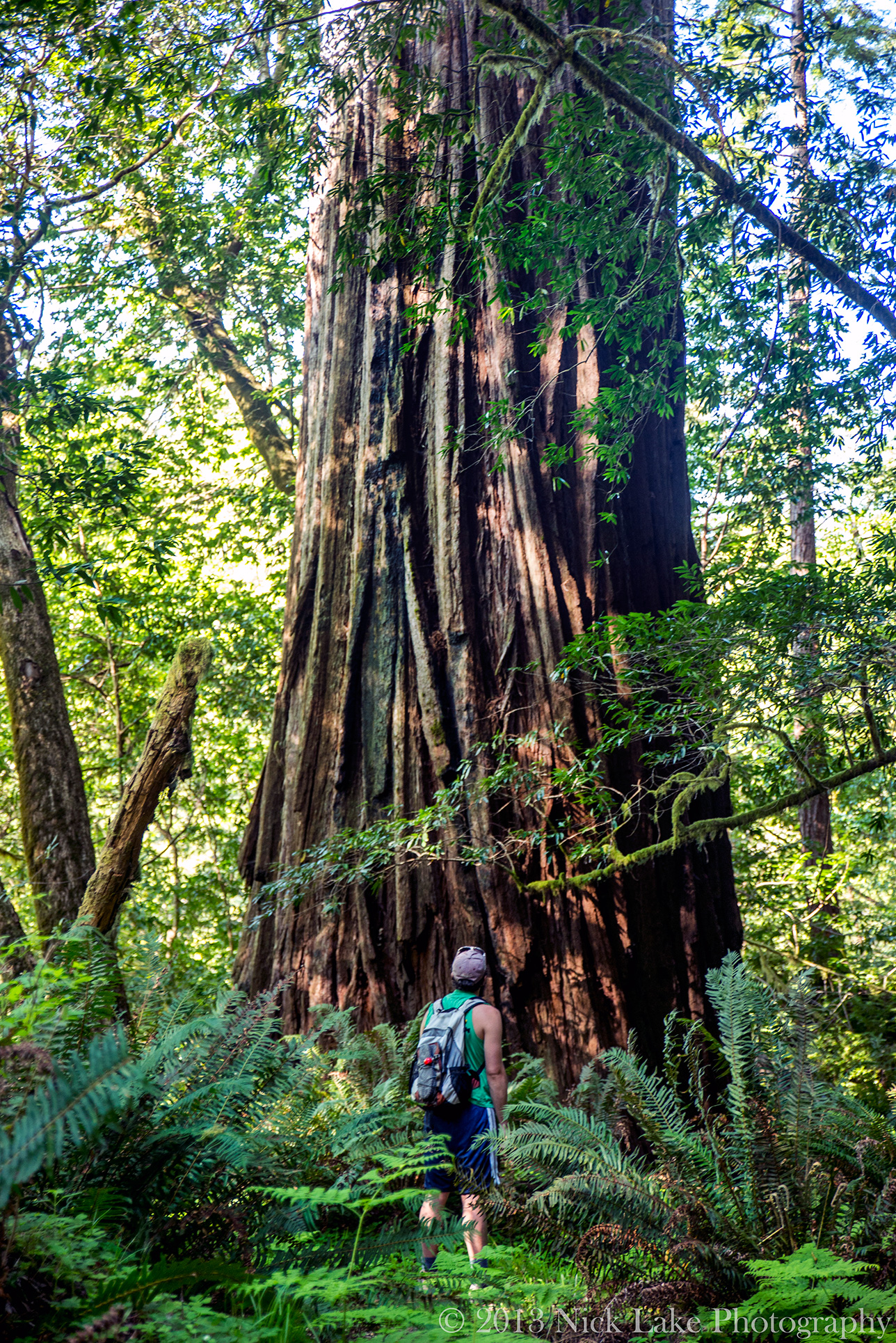 Nick pauses at the base of a giant Redwood in the Tall Trees Grove