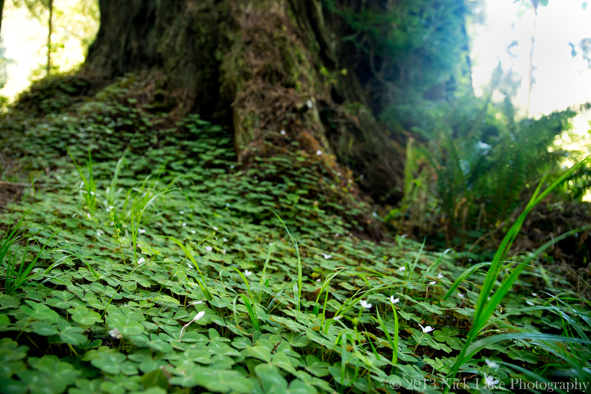 Redwood Oxalis blankets the ground between trees