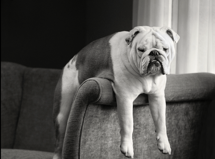 10 Best Dogs for Apartment Living_Bulldog
