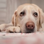 Ragweed Allergy in Dogs – Part 3: Dealing with medication side-effects