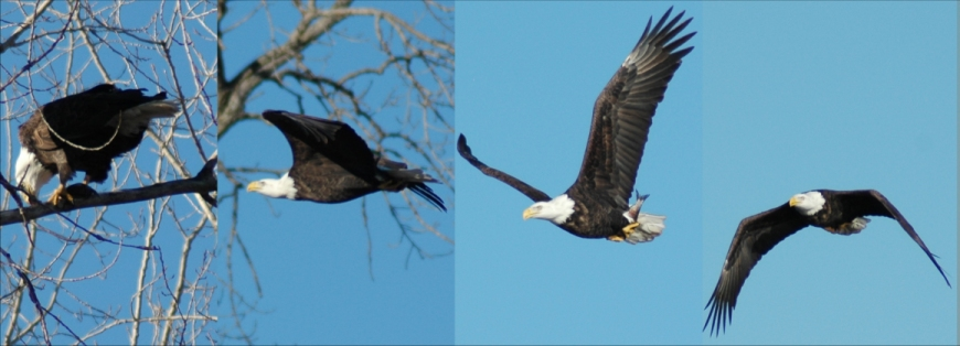 Eagle in Flight with a Fish