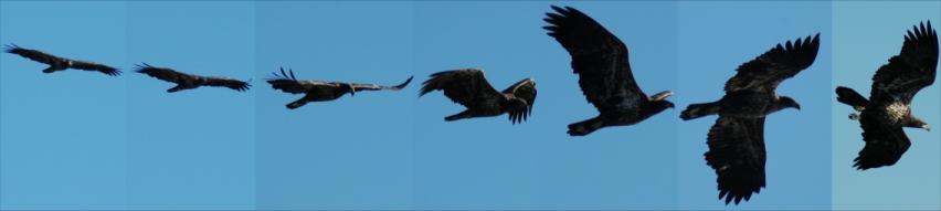 Juv Eagle in Flight
