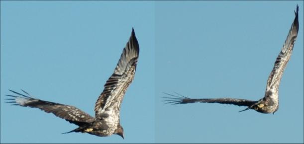 Juv Eagle in Flight 2