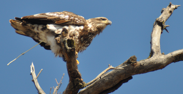 Juv Eagle Pre-flight